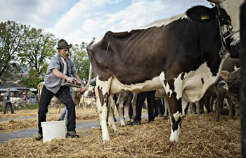 Appenzell Cattle Show held in Switzerland
