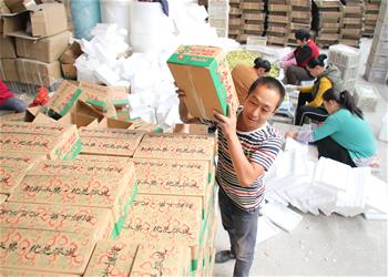 China's Shandong embraces harvest of winter jujubes