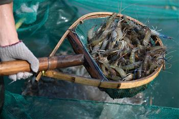 Fishery base staffs busy with work in fishing season for freshwater shrimps in China's Zhejiang