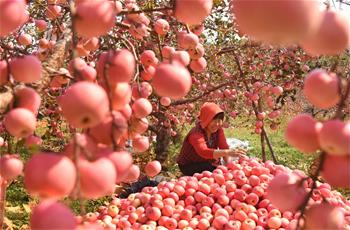 Apples harvested in E China's Shandong