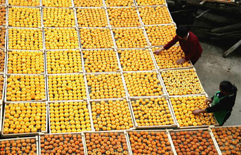 Villagers dry persimmons in south China's Guangxi