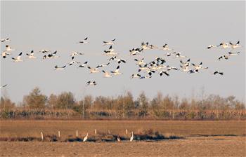 In pics: Siberian cranes migration