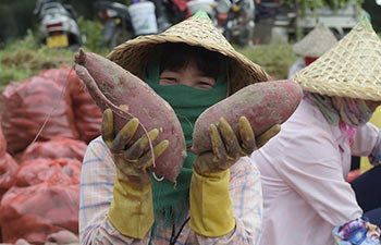 Sweet potatoes harvested in China's Fujian