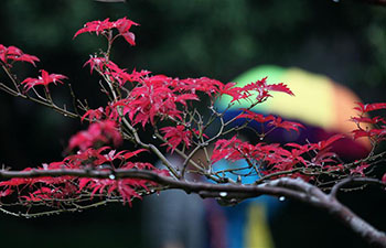 Tourists view maple leaves in Yangzhou, China's Jiangsu