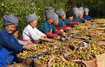 Villagers harvest fruits of camellia oleifera in SW China's Guizhou