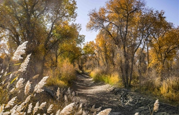 Scenery of desert poplar trees along Tarim River in China's Xinjiang