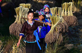 Purple glutinous rice harvested in China's Guangxi