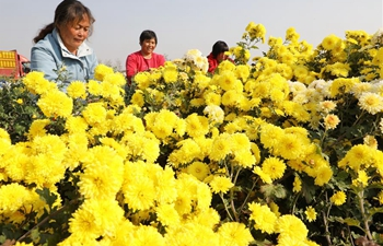 Chrysanthemum flowers enter harvest season in central China's Henan