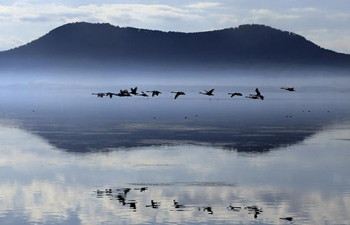 In pics: swans in Rongcheng, E China's Shandong