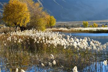 Reed flowers seen in wetland in China's Tibet