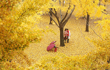 Golden ginkgo leaves seen in east China's Shandong