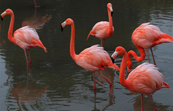 Flamingos seen in east China's Shangfangshan Forest Zoo