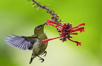 Sunbird gathers honey from flower at Fuzhou National Forest Park