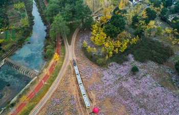 Scenery of ginkgo tree garden in E China's Zhejiang