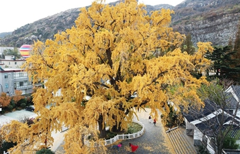 Scenery of ginkgo trees across China
