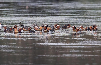 Wild mandarin ducks seen on Xin'an River in E China's Anhui