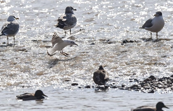 Wetland park in NW China sees flock of migratory birds
