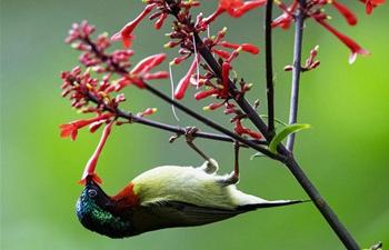 Sunbird gathers honey at Fuzhou National Forest Park