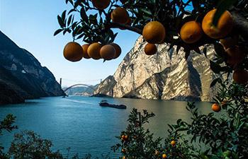 Navel orange harvested in Zigui County, China's Hubei
