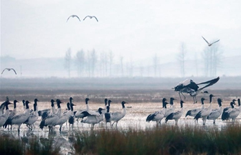 Black-necked cranes arrive at nature reserve to spend winter in China's Guizhou