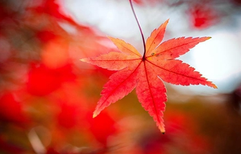 Scenery of maple leaves at botanical garden in China's Jiangsu