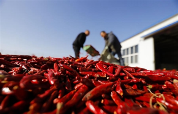 Chilies harvested in Huanglin Village, north China's Hebei