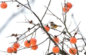 In pics: persimmons hang on trees in snow-hit village in Hubei