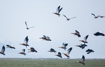 Poyang Lake sees flock of migratory birds overwintering