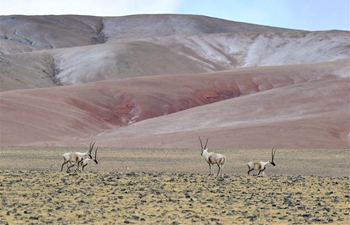 Tibetan antelopes seen in Qiangtang National Nature Reserve