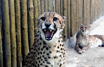 Zhengzhou Zoo welcomes fives couples of cheetahs from South Africa
