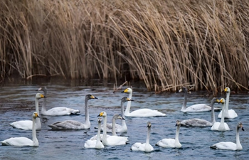 Swans seen in Yellow River wetland in China's Qinghai