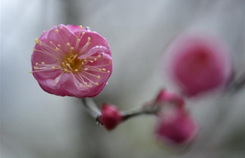 In pics: plum blossoms in central China's Hubei