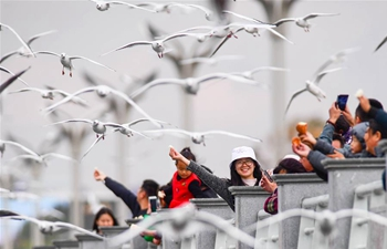Migratory black-headed gulls attract tourists to Kunming