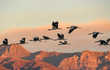 Tibet becomes ideal habitat for black-necked cranes in winter