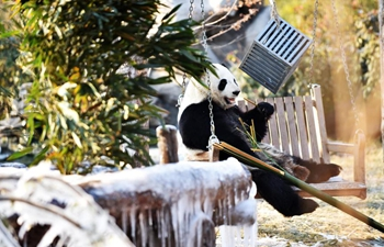 Giant pandas enjoy themselves at Wild World Jinan in E China's Shandong