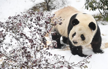 Giant panda Liang Liang eats, plays at snow-covered wild animal zoo of Hefei