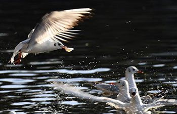 In pics: red-billed gulls at Cuihu Park in Kunming, SW China's Yunnan