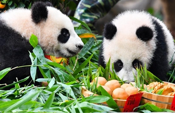 Giant panda cubs enjoy special New Year treat ahead of Spring Festival in Guangdong