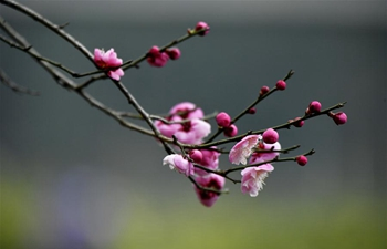 In pics: plum flowers in Xuanen County, central China's Hubei
