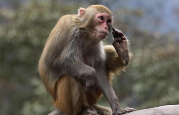 Lively macaques draw tourists' attention at Wulingyuan National Park in Zhangjiajie