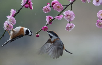 Birds gathering around plum blossom in Jiangsu