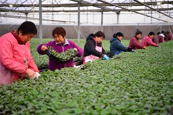 Spring agricultural work starts in NW China's Shaanxi