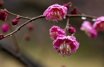 In pics: plum flowers after light spring rain