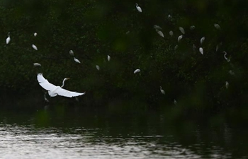 Flock of egrets seen by Sanya River in Hainan