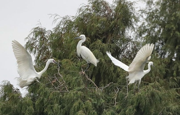 Egrets fly over trees in SW China's Guizhou