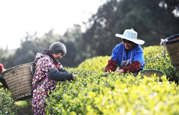 Farmers pick tea leaves at Dingxin tea garden in Chongqing