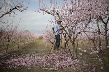 Blossoming peach trees seen in Greece