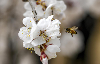 Apricot flowers bloom in NW China's Xinjiang