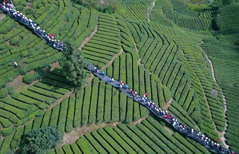 Spring tea enters harvest season in central China's Hubei
