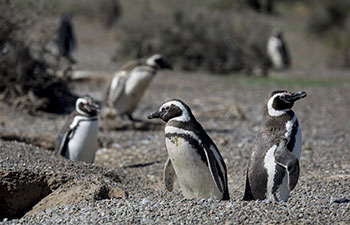 Magellanic penguins' reserve in Argentina